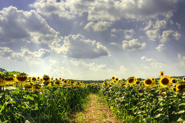 A sunflower maze path down the center of the frame is surrounded by sunflowers right and left with high noon light and blue skies with rays of light passing through a few clouds.