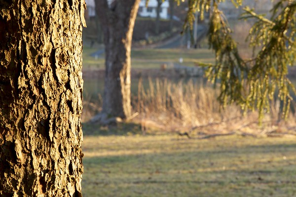 A tree trunk in the warm sun frames the left edge of the photograph with an out-of-focus tree, pond, and evergreen branches to the right and behind.