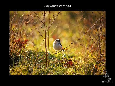 Chevalier Pompon