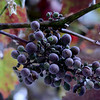 Grapes 7-22-14 Day 203