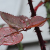 Leaves and droplets 1/7/14 Day 7