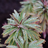 Euphorbia with droplets 1/1/14 Day 1
