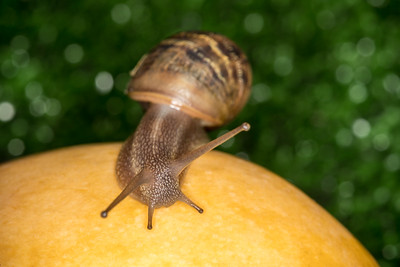 Snail on a mango