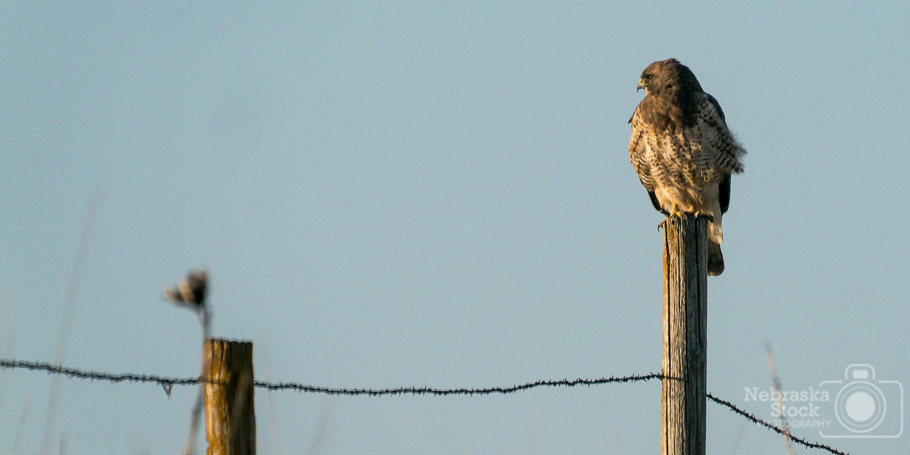 4-28-2018<br /> 117/365<br /> A Red Tail Hawk sits on top of a post looking for its breakfast early Saturday morning in southern Pierce County. <br /> Photo taken with a Sony A9 with a Sony FE 100-400<br /> ISO 1250<br /> 1/1600th at F11<br /> (69597)