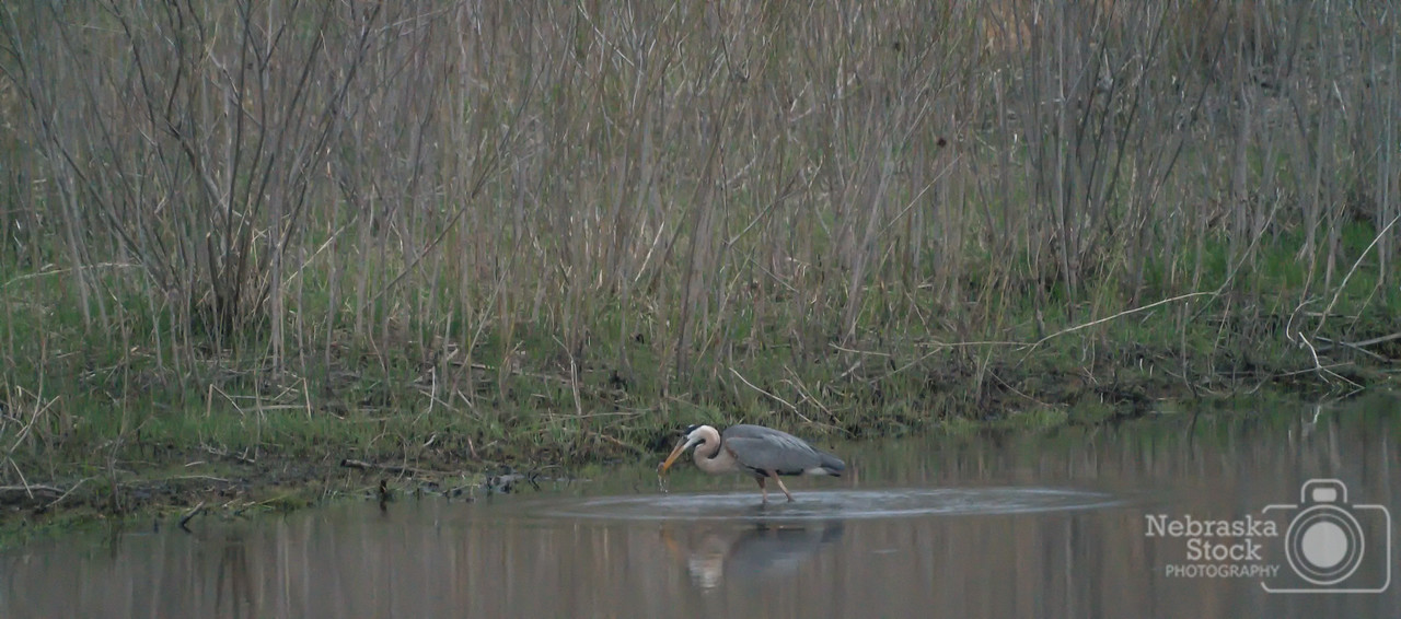 A Blue Heron grabs supper along the Elkhorn River Tuesday evening west of Norfolk. <br /> Photo taken with a Sony A9 with a Sony FE 100-400<br /> ISO 10000<br /> 1/320th at F11<br /> (74022)