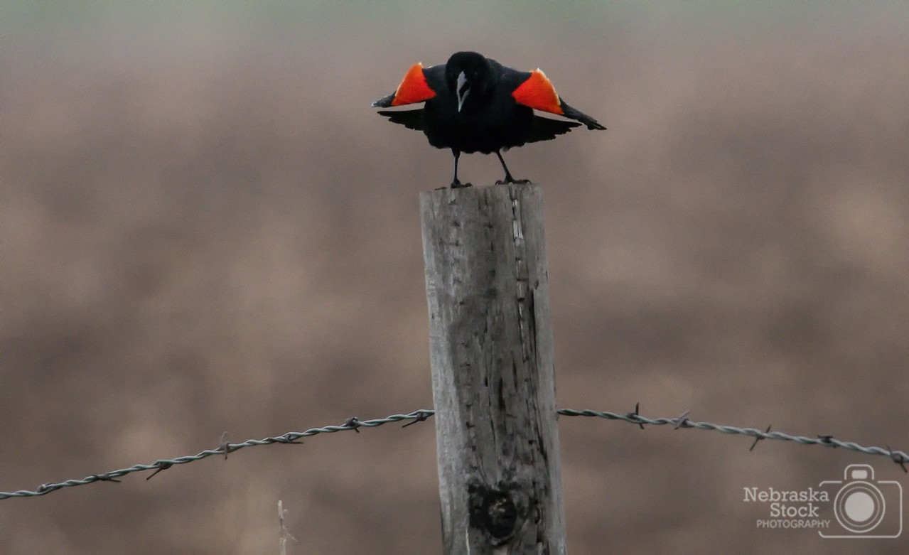 5-11-2018<br /> 131/365<br /> A Red Wing Blackbird sit on top of a post and sings its heart away Friday night  in Madison County. <br /> Photo taken with a Nikon D500 with a Tamron 150-600 G2<br /> ISO 4000<br /> 1/500th at F8<br /> (85537)