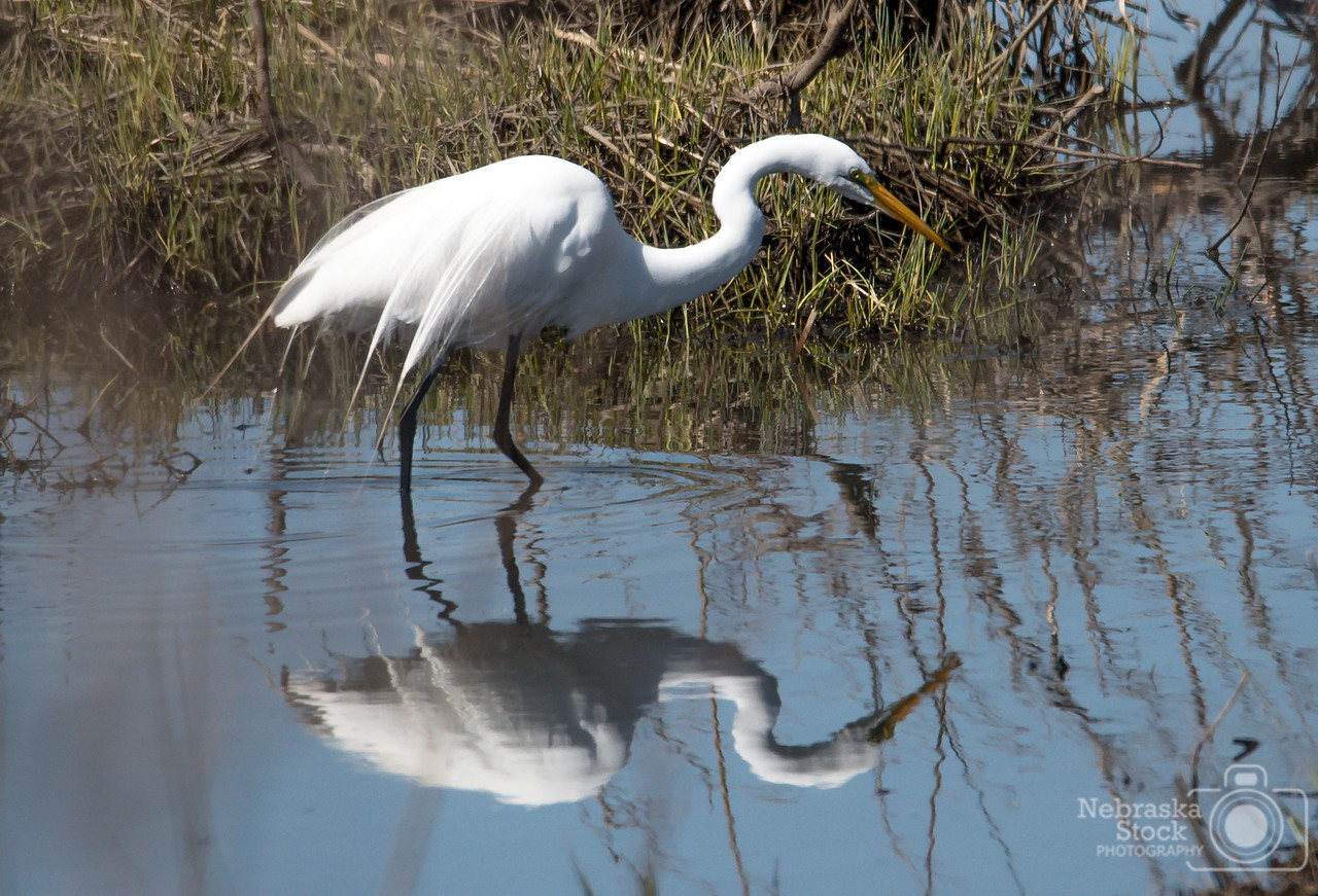 4-16-2018<br /> 106/365<br /> A Great White Egret  walks along the bank of the Elkhorn river eating fish on a Monday afternoon between Battle Creek and Norfolk. <br /> Photo taken with a Nikon D500 with a Tamron 150-600 G2<br /> ISO 400<br /> 1/4000th at F8<br /> (59949)