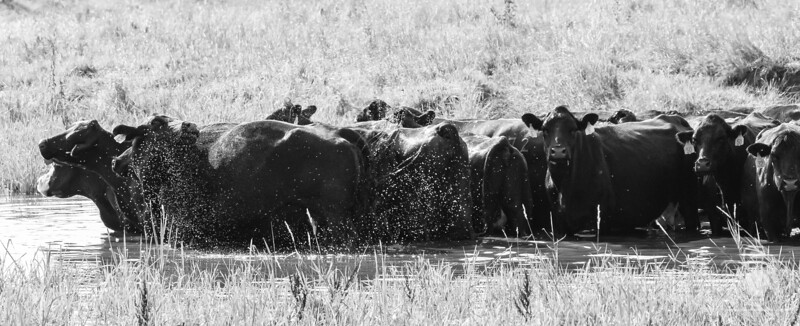 7-17-2018<br /> 198/365<br /> A herd of cattle stand in a small farm pond late Tuesday afternoon to cool down in Madison County. <br /> Photo taken with a Nikon D500 with a Tamron 150-600<br /> ISO 2800<br /> 1/1600th at F8<br /> (116359)