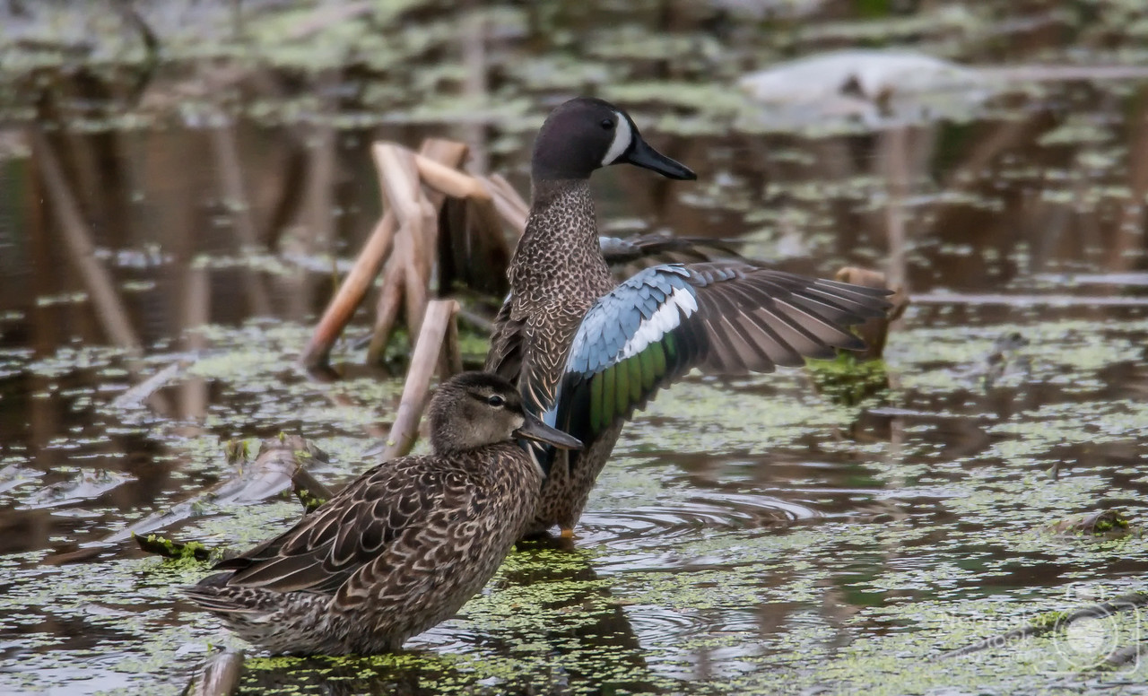 5-12-2018<br /> 132/365<br /> A Blue Wing Teal stretches his wings Saturday afternoon in southern Pierce County in a small farm pond. <br /> Photo taken with a Nikon D500 with a Tamron 150-600 G2<br /> ISO 3200<br /> 1/640th at F6.3<br /> (85913)