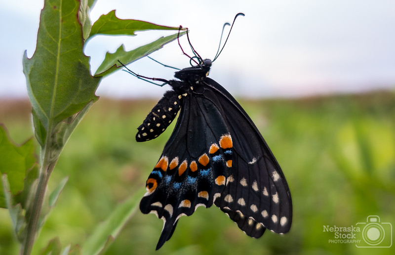7-22-2018<br /> 203/365<br /> A Pipevine Swallowtail Butterfly enjoys the last little bit of sun Sunday evening along the Elkhorn River in Madison County. <br /> Photo taken with a Sony RX100M4<br /> ISO 125<br /> 1/200th at F1.8<br /> (117405)
