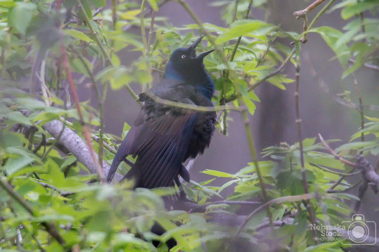 5-13-2018<br /> 133/365<br /> A common grackle is attempting to scare off a bigger bird out of a tree along the North Fork River Sunday afternoon in Pierce County. <br /> Photo taken with a Nikon D500 with a Tamron 150-600 G2<br /> ISO 8000<br /> 1/250th at F6.3<br /> (86103)
