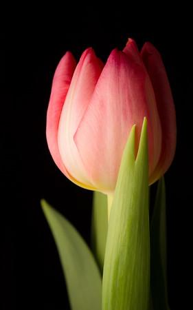 Blushing tulip