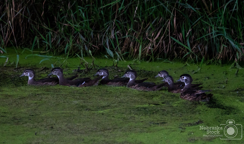 7-19-2018<br /> 200/365<br /> The family of Wood Ducks are growing fast. <br /> Photo taken with a Sony A7rIII with a Sony FE 100-400<br /> ISO 6400<br /> 1/400th at F8<br /> (116677)