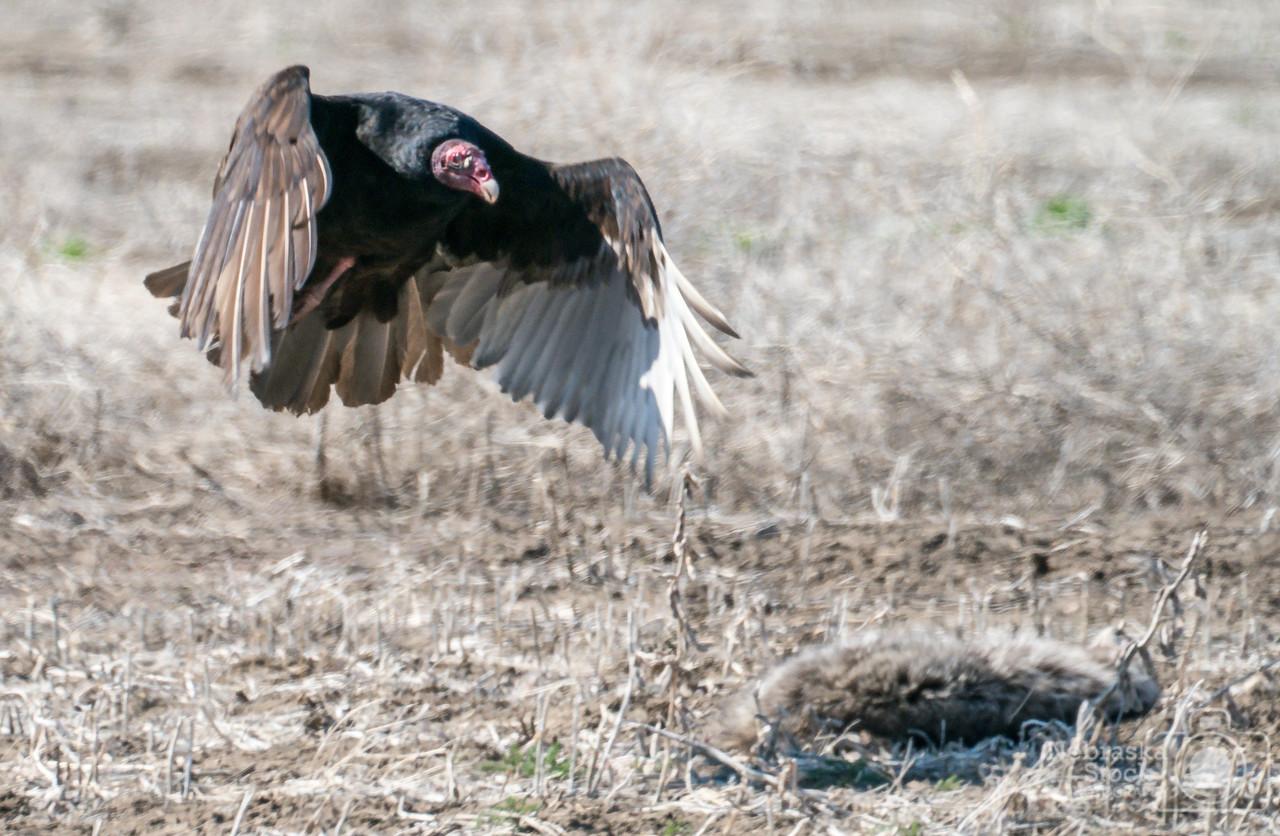 4-22-2018<br /> 112/365<br /> A Turkey Vulture comes in for a landing to feed on a deceased raccoon in a field in the Northern part of Knox County on Sunday afternoon. <br /> Photo taken with a Sony A9 with a Sony FE 100-400<br /> ISO 1250<br /> 1/1000th at F11<br /> ( 63502)