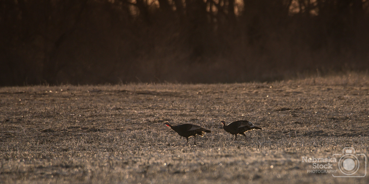 4-19-2018<br /> 109/365<br /> A pair of turkey hens head back to the trees to roast for the night along the Elkhorn River west of Norfolk in Madison County. <br /> Photo taken with a  Sony A7rIII with a Tamron 150-600 G2<br /> ISO 800<br /> 1/1250th at F8<br /> (61197)