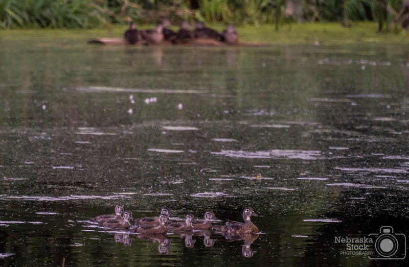 7-5-2018<br /> 186/365<br /> A family of Wood Ducks take a swim in a farm pond while another family of Wood Ducks watch as they sit on the log.<br /> Photo taken with a Sony A9 with a Sony FE 100-400<br /> ISO 4000<br /> 1/250th at F11<br /> (113706)