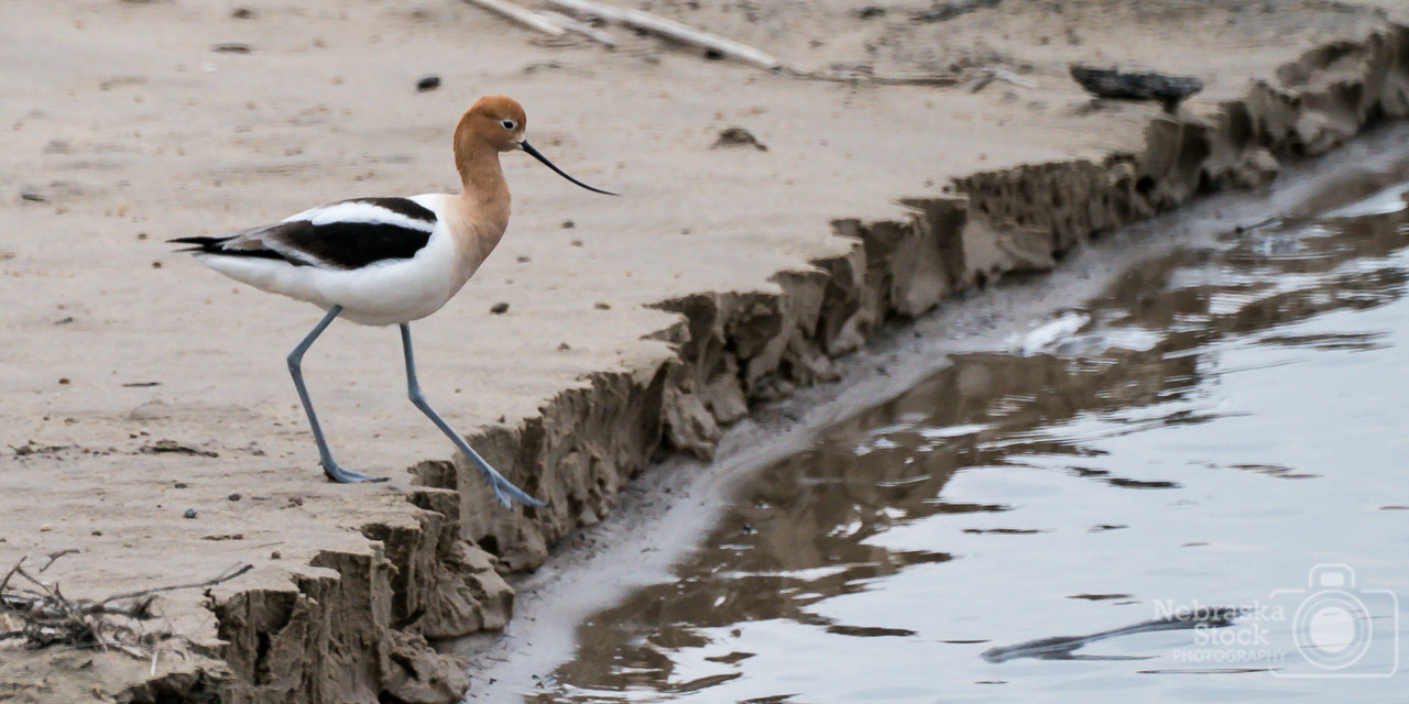 4-20-2018<br /> 110/365<br /> An American Avocet gets ready to enter the Elkhorn River tonight get its supper for the night. A cool little bird to watch eat. <br /> Photo taken with a Sony A9 with a Sony 100-400<br /> ISO 1600<br /> 1/200th at F11<br /> (61368)
