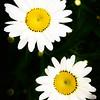daisies, imbalance