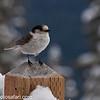 Day 17 - A cute little snow bird at Mt. Baker