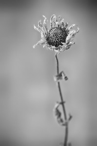 358 of my 365 project; Sun Flower