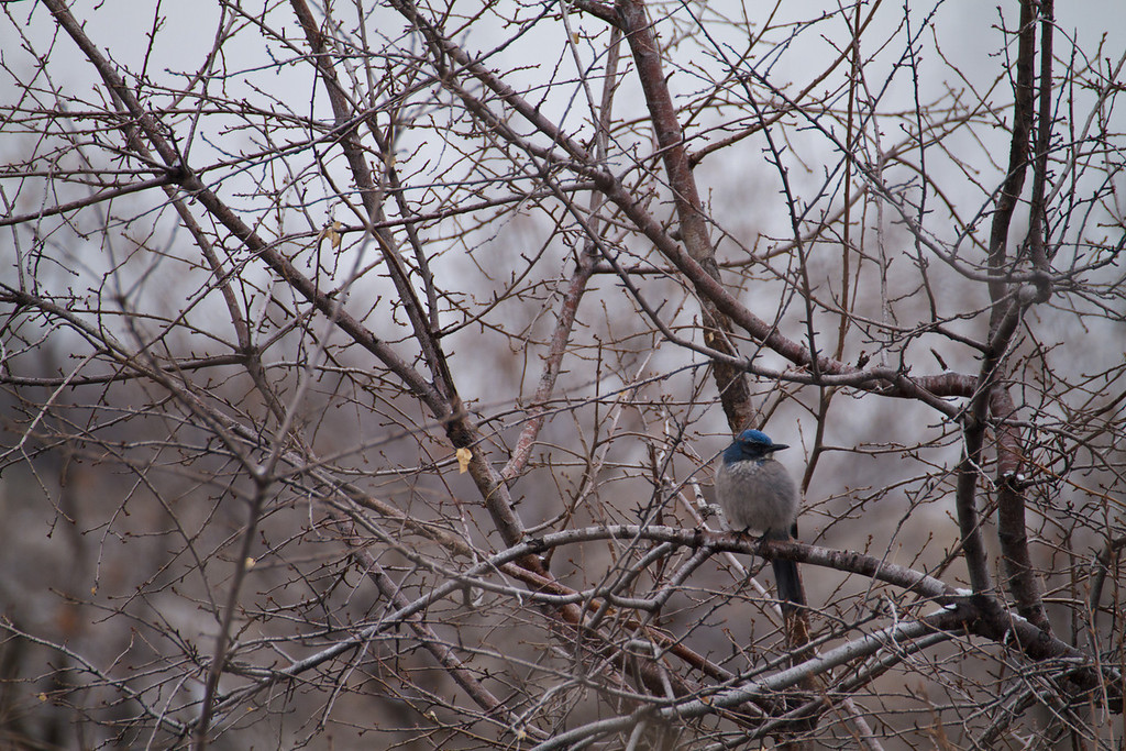 scrub jay on a cold day - 33 of my 365 project