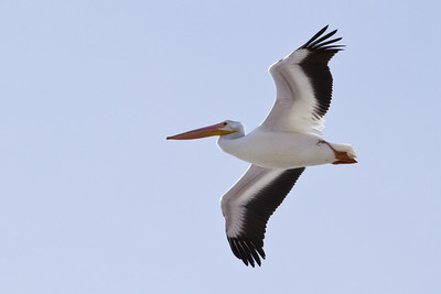 29 of my 365 project; Pelican at farmington bay