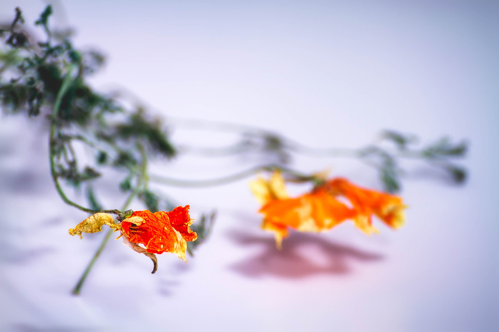 353 of my 365 project; California Poppies