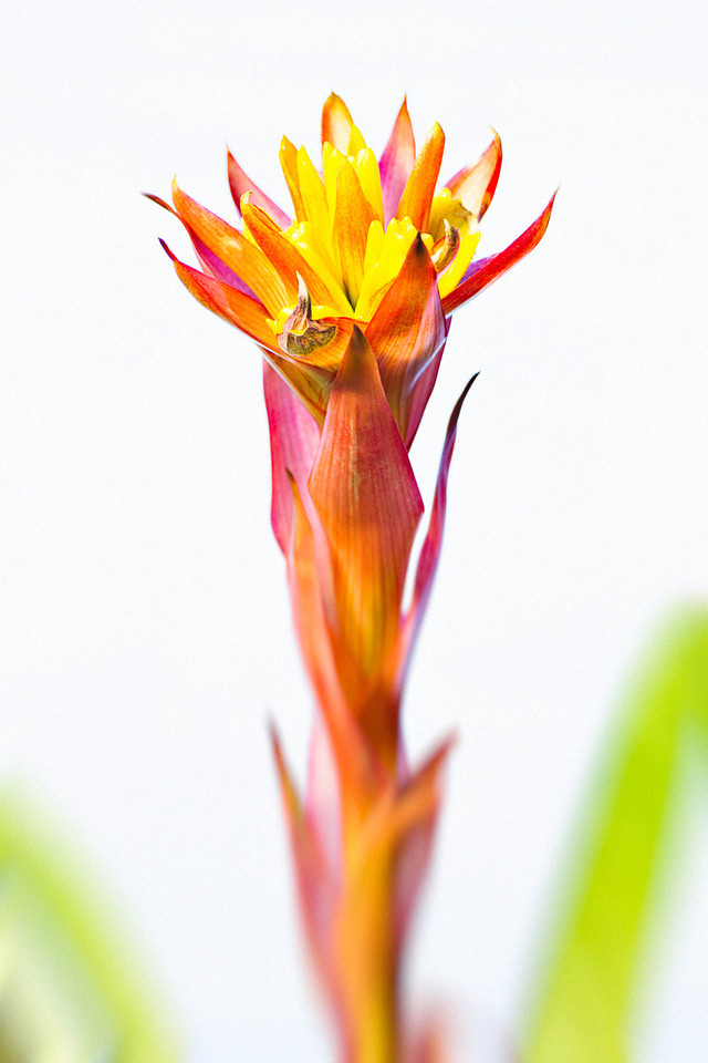 324 of my 365 project; bromeliad