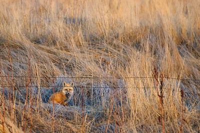 59 of my 365 project; red fox look out.