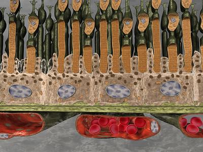 Histology of healthy retina 02