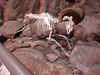 623 bighorn Sheep Ram skeleton