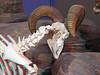 627 bighorn Sheep Ram skeleton skull closeup