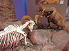 625 Big Horn Sheep figthing skeleton and full body