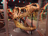 312 Custer Tyrannosaurus rex MOR 008 skull in glass case