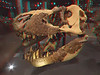 340 Montanna's Tyrannosaurus rex MOR 980 skull in glass case