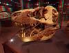 308 Montanna's Tyrannosaurus rex MOR 980 skull in glass case