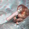 young Sumatran orangutan