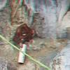 Sumatran Orangutang, Nairi, born Dec 13, 2011