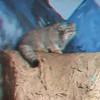Pallus cat