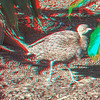 Cape thick-knee-003
