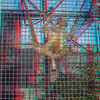 Black-handed spider monkey-003