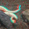 Albino timber rattlesnake-005