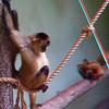 Black-handed spider monkey-301