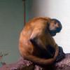 Black-handed spider monkey-303