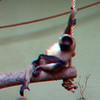 Black-handed spider monkey-302