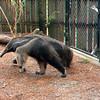 Gian anteater-302