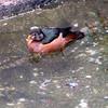African pygmy goose-301