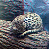 Black-footed cat-301