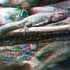 Caiman lizard-301
