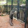 Gian anteater-301